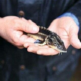 بچه ماهی کپور