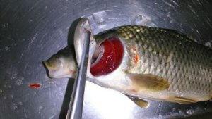 بیماری های ماهی کپور