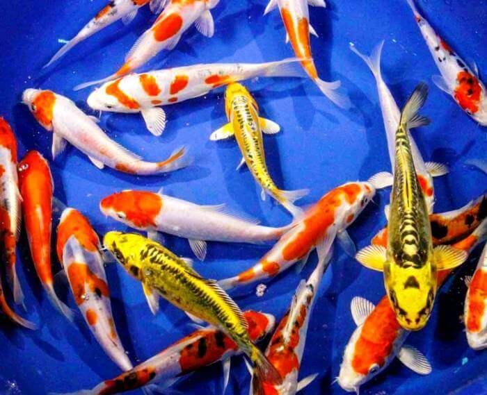 خرید ماهی کوی