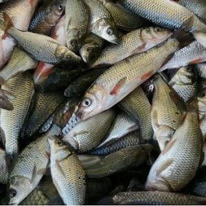 خرید بچه ماهی آمور