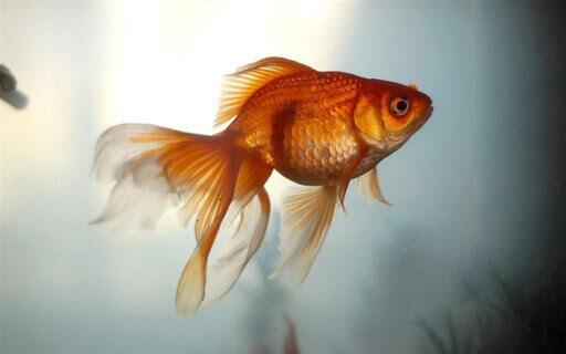 خرید بچه ماهی قرمز