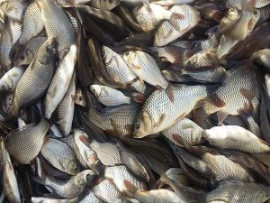 خرید بچه ماهی کپور