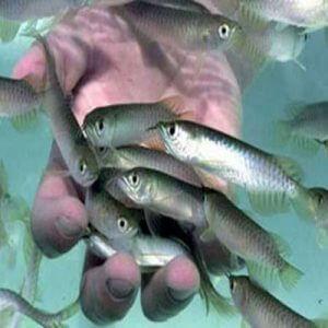 بچه ماهی ازاد