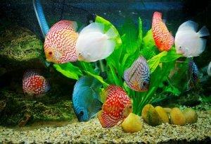 ماهی های اکواریومی