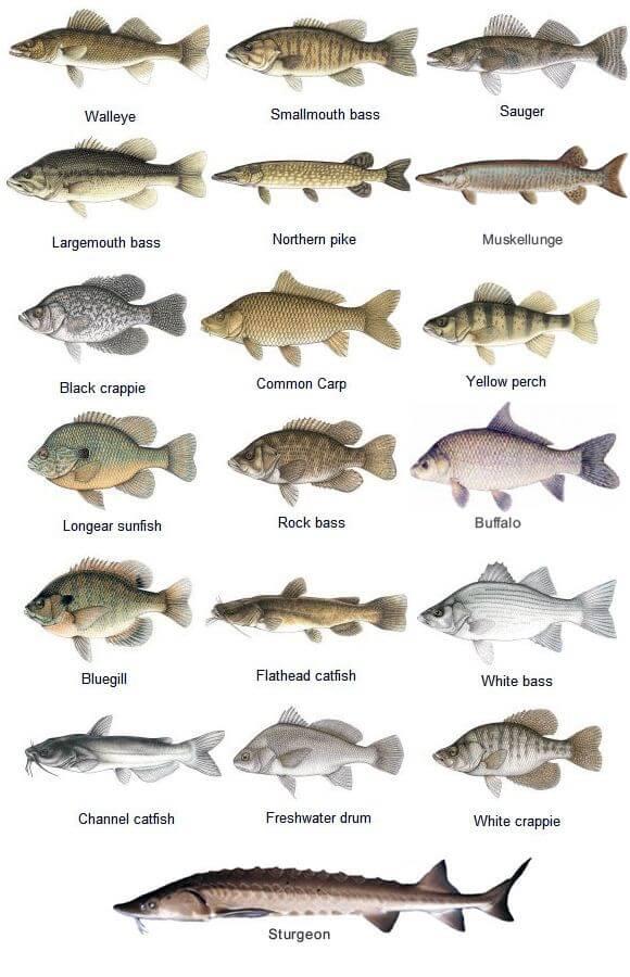 انواع ماهی کپور